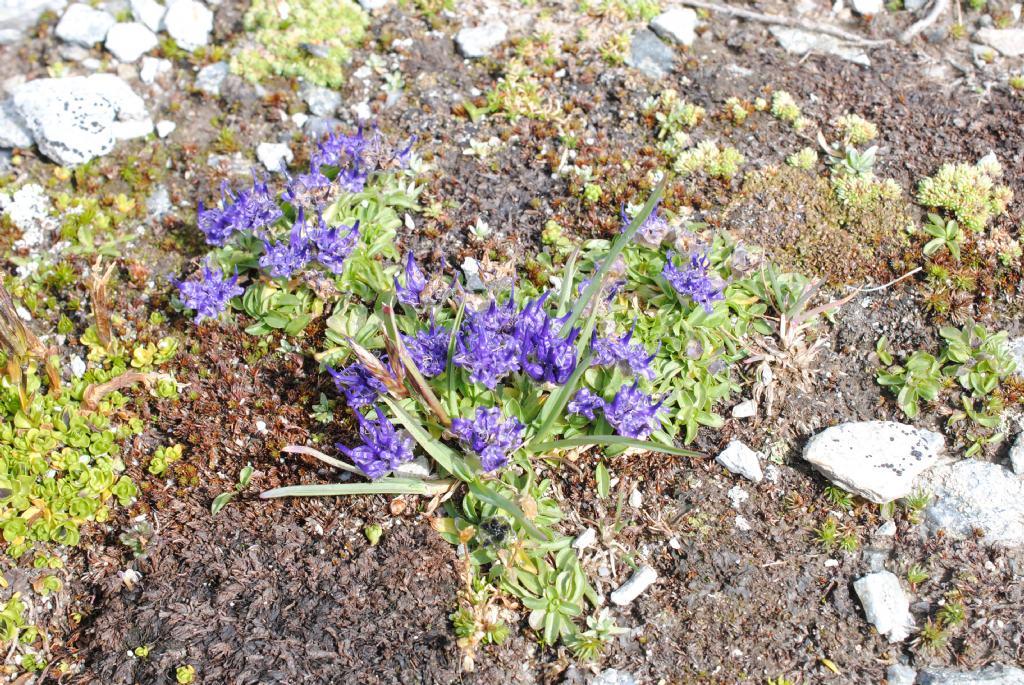 Phyteuma globulariifolium?