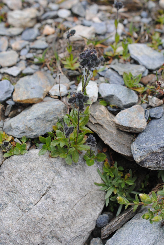 Veronica alpina / Veronica delle Alpi (in fruttificazione)