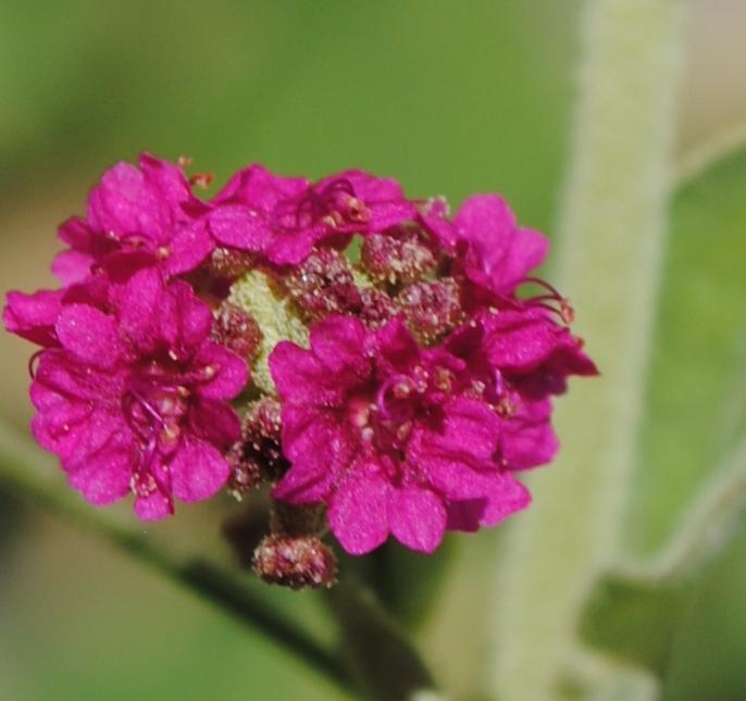 Boerhavia coccinea / Boeravia scarlatta