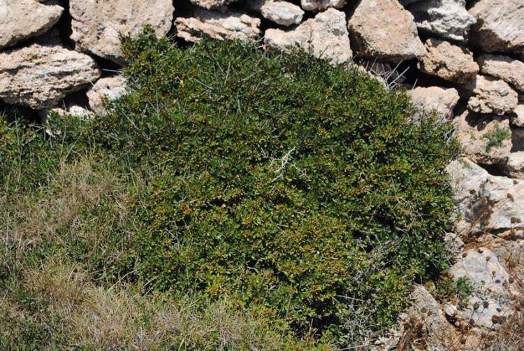 Rhamnus lycioides subsp. oleoides / Ranno con foglie d''olivo