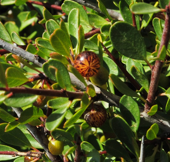 Dalla Sicilia, Rhamnus lycioides?  Sì, Rhamnus lycioides subsp. oleoides