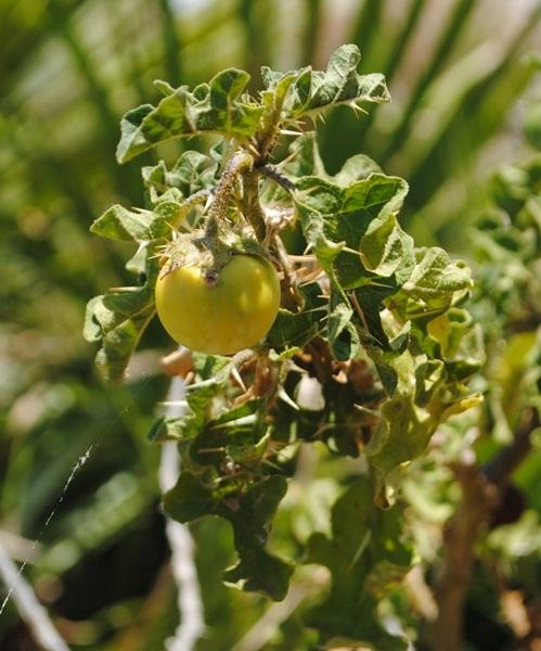 Dalla Sicilia, Solanum linnaenum?  Sì,... Solanum linnaeanum
