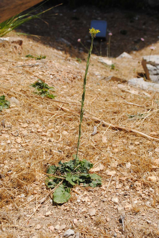 Sinapis pubescens / Senape pubescente