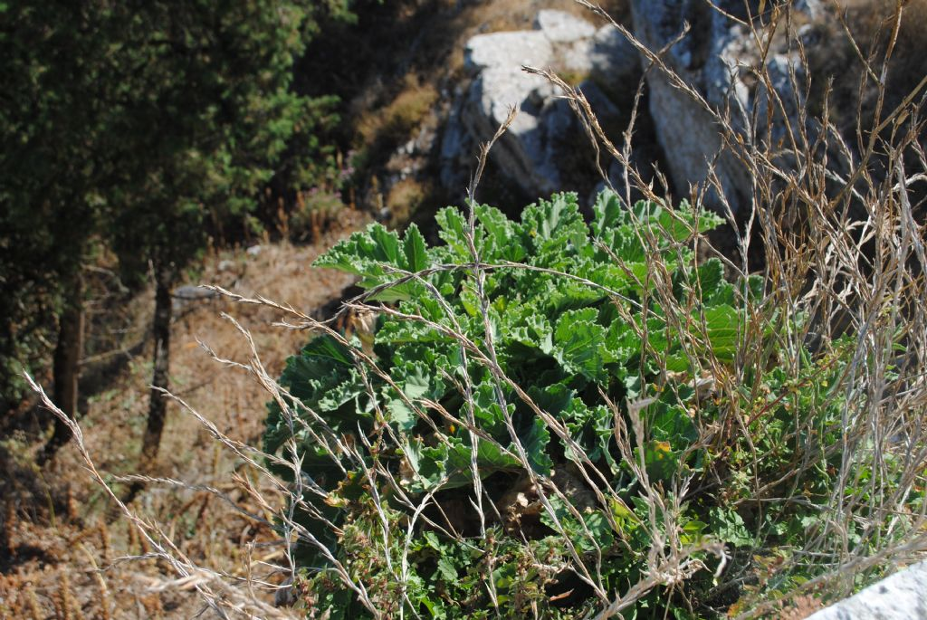 Brassicacea?  Sì, Brassica villosa
