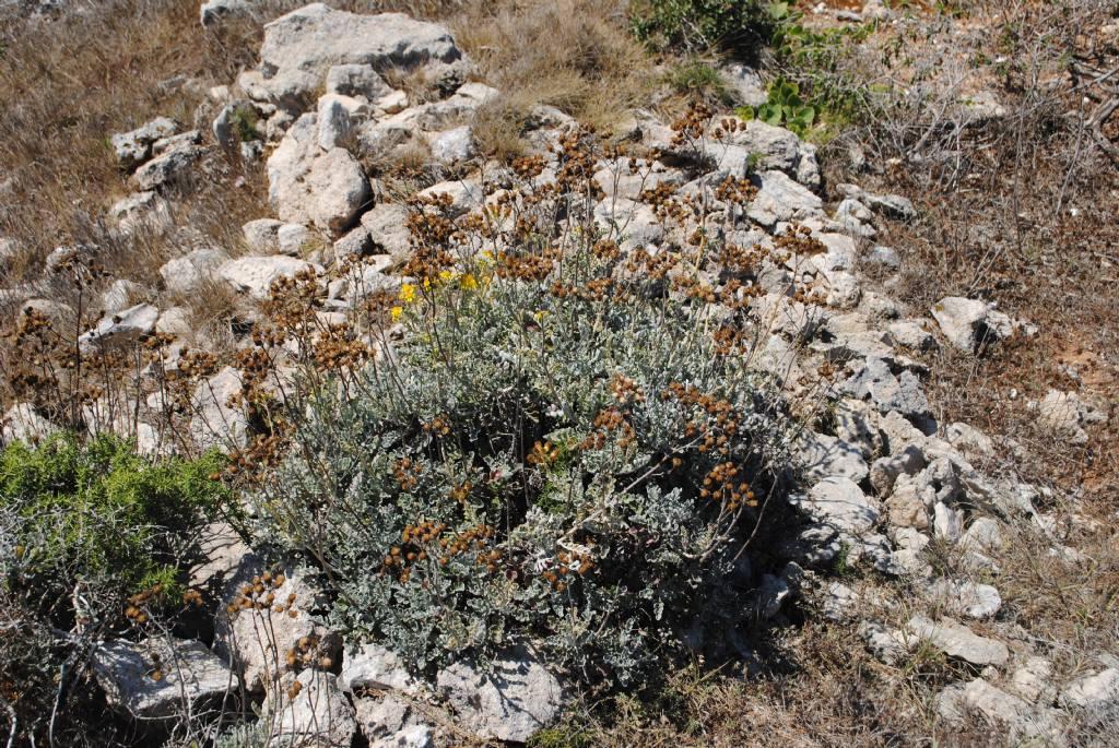Senecio? No, Jacobaea maritima subsp.sicula