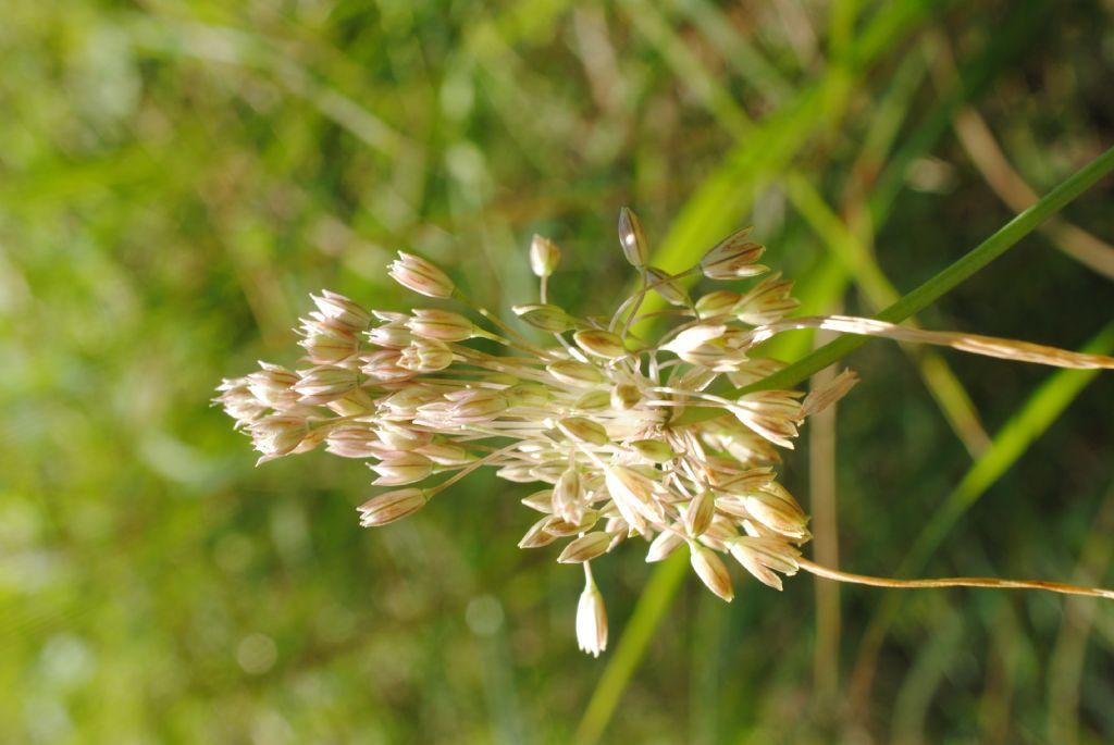 Allium tenuiflorum?