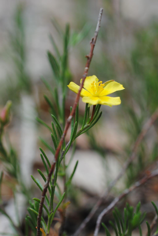 Fumana?  Sì, Fumana ericifolia (= Fumana ericoides) -Cistaceae