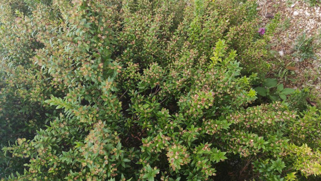 Myrtus communis subsp.tarentina?