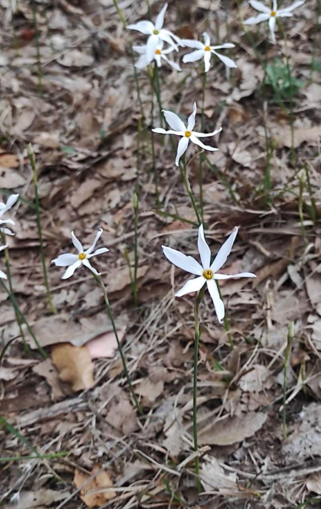 Narcissus miniatus  ?  Sì