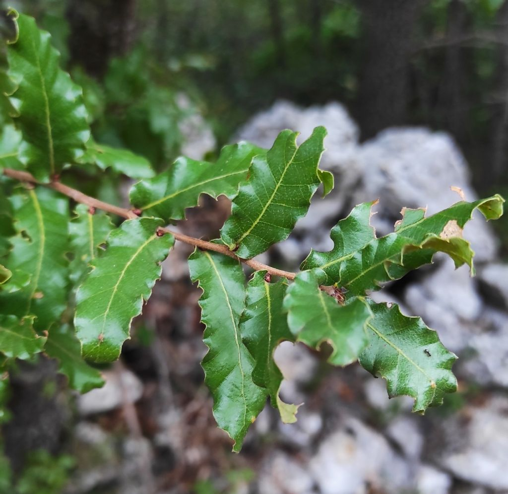 Quercus coccifera? No, Quercus trojana