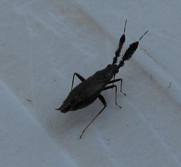 Miridae: Heterotoma diversipes della Sardegna (OT)