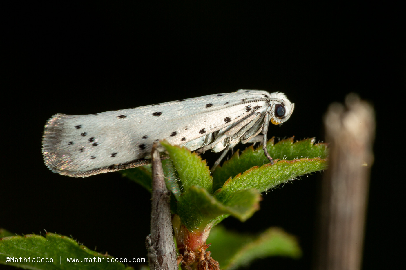 Bruchi di Yponomeutidae - Yponomeuta padella