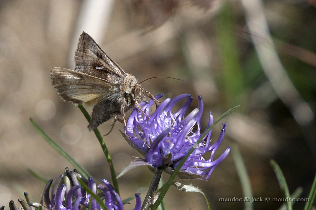 Falena da ID (Noctuidae) - Passo Gavia (SO): Syngrapha hochenwarthi