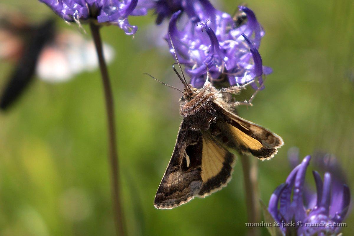 Falena da ID (Noctuidae) - Passo Gavia (SO)