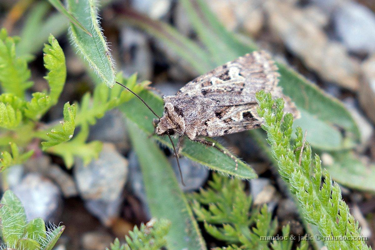 Falena da ID, Stelvio (SO): Chersotis cfr. multangola - Noctuidae