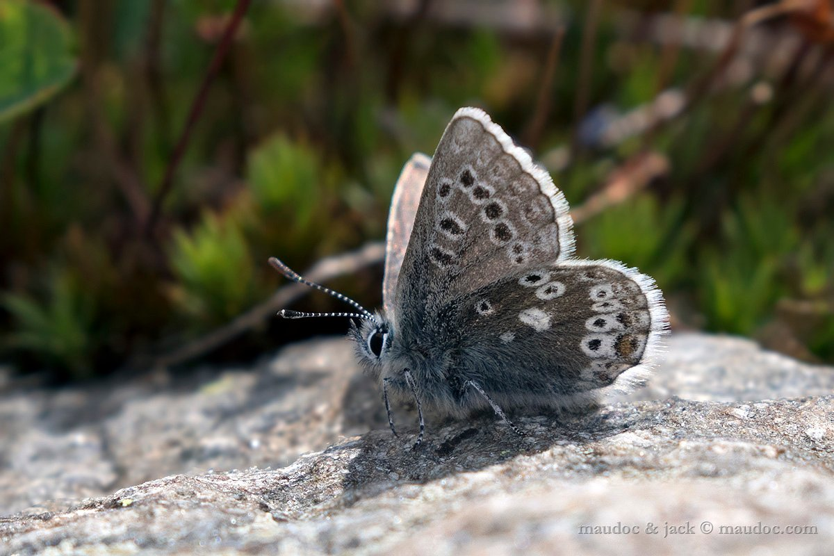 Plebejus glandon? (Passo Gavia SO)