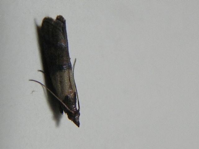 ID falena - Plodia interpunctella, Pyralidae