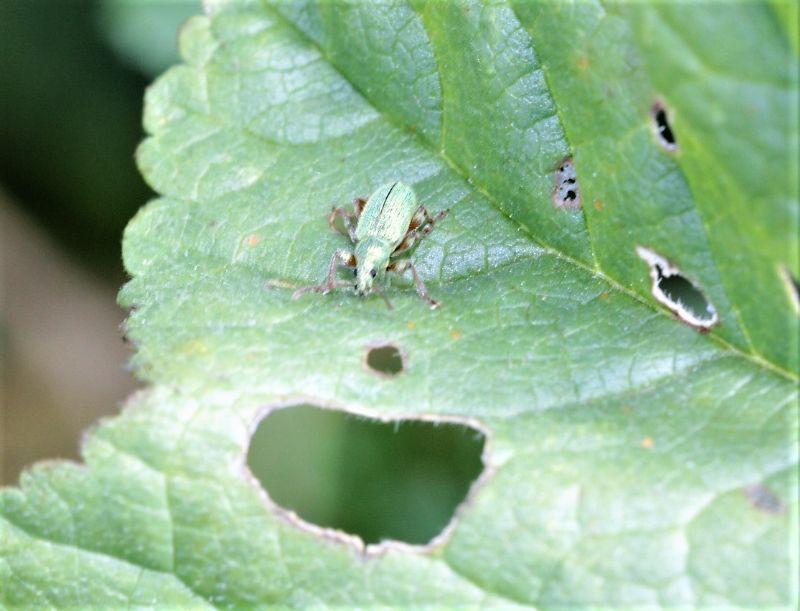 Curculionidae:  Phyllobius longipilis