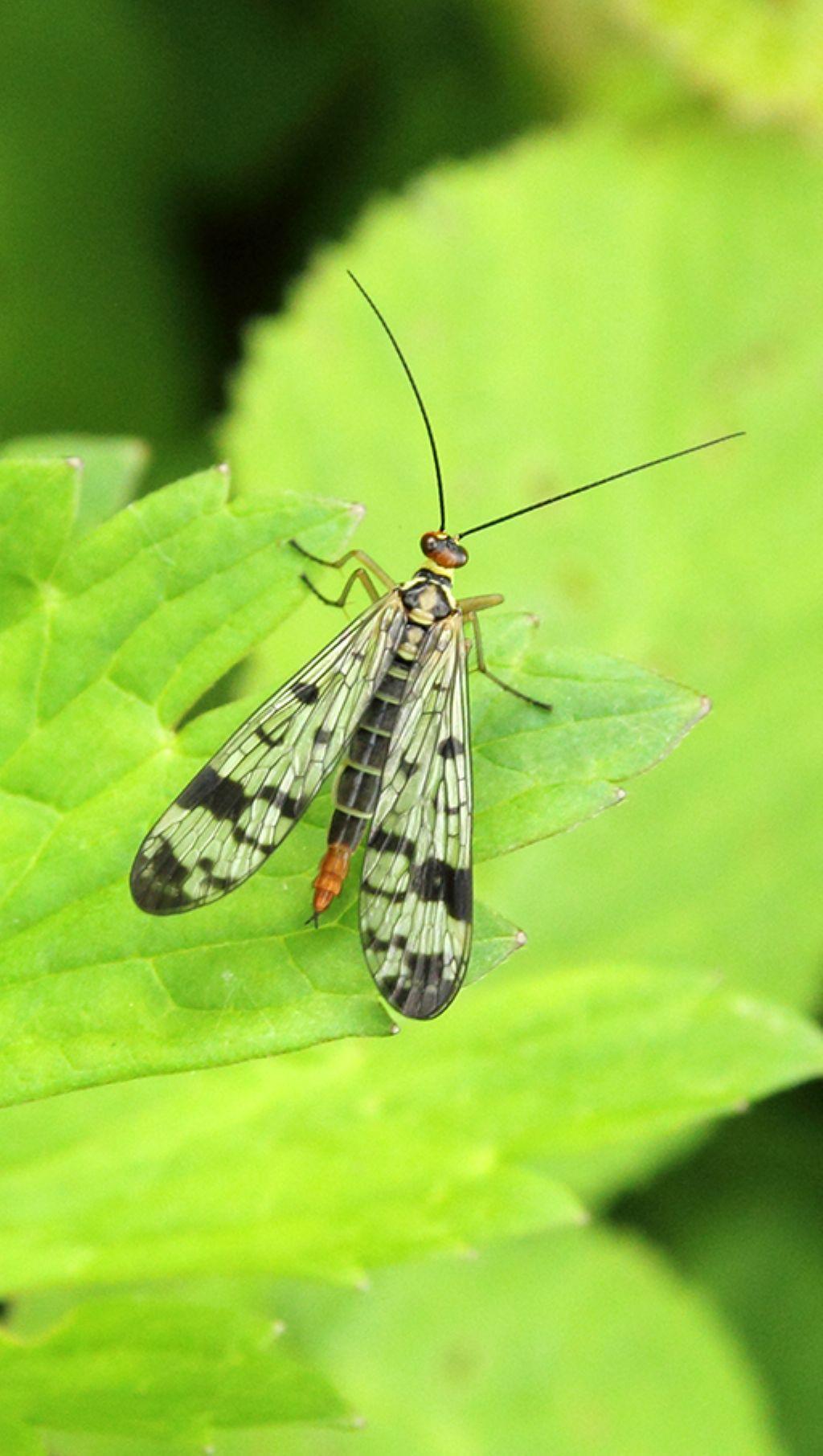 Panorpa gr. cognata, femmina