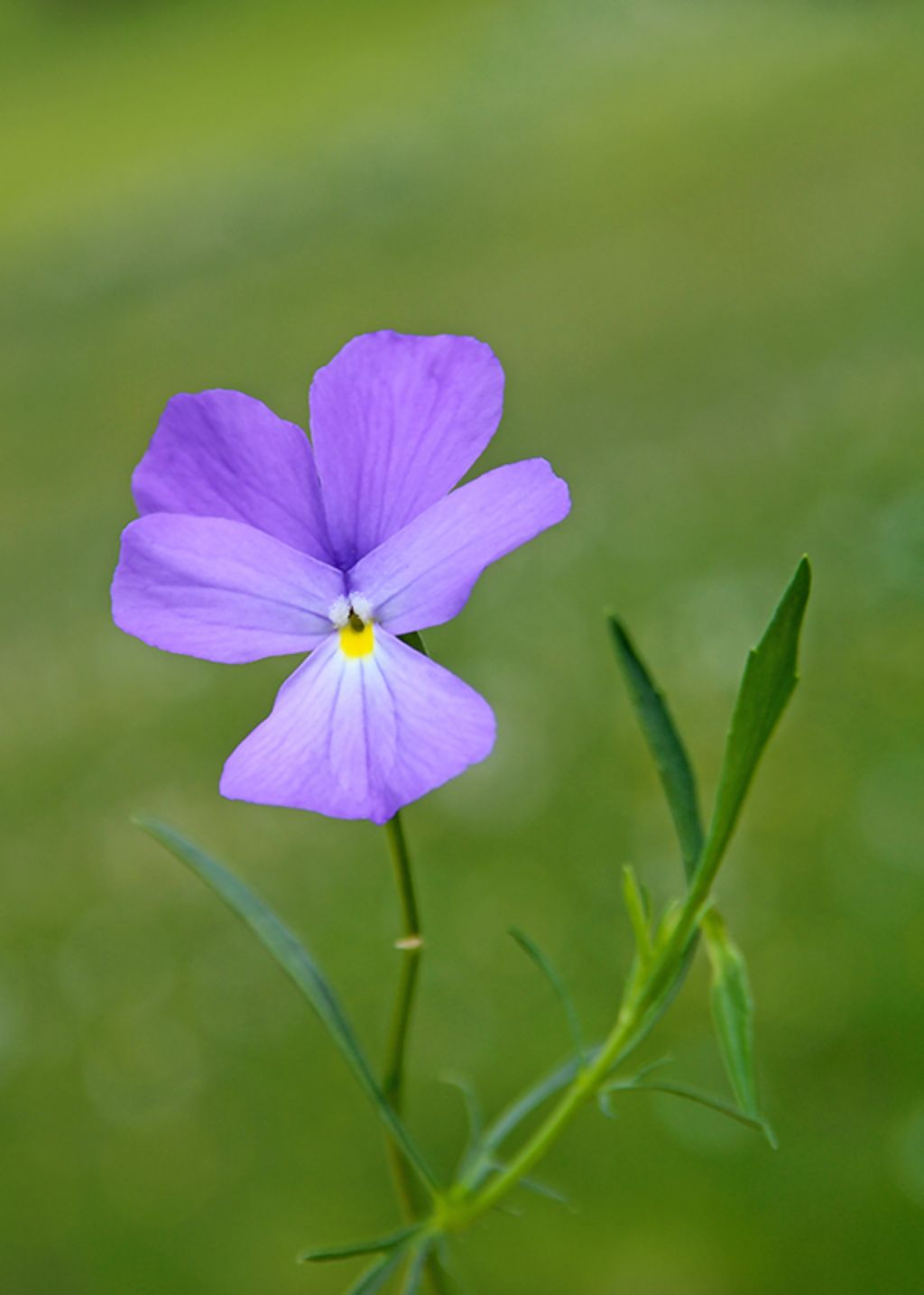 Quale Viola?....Viola sp.