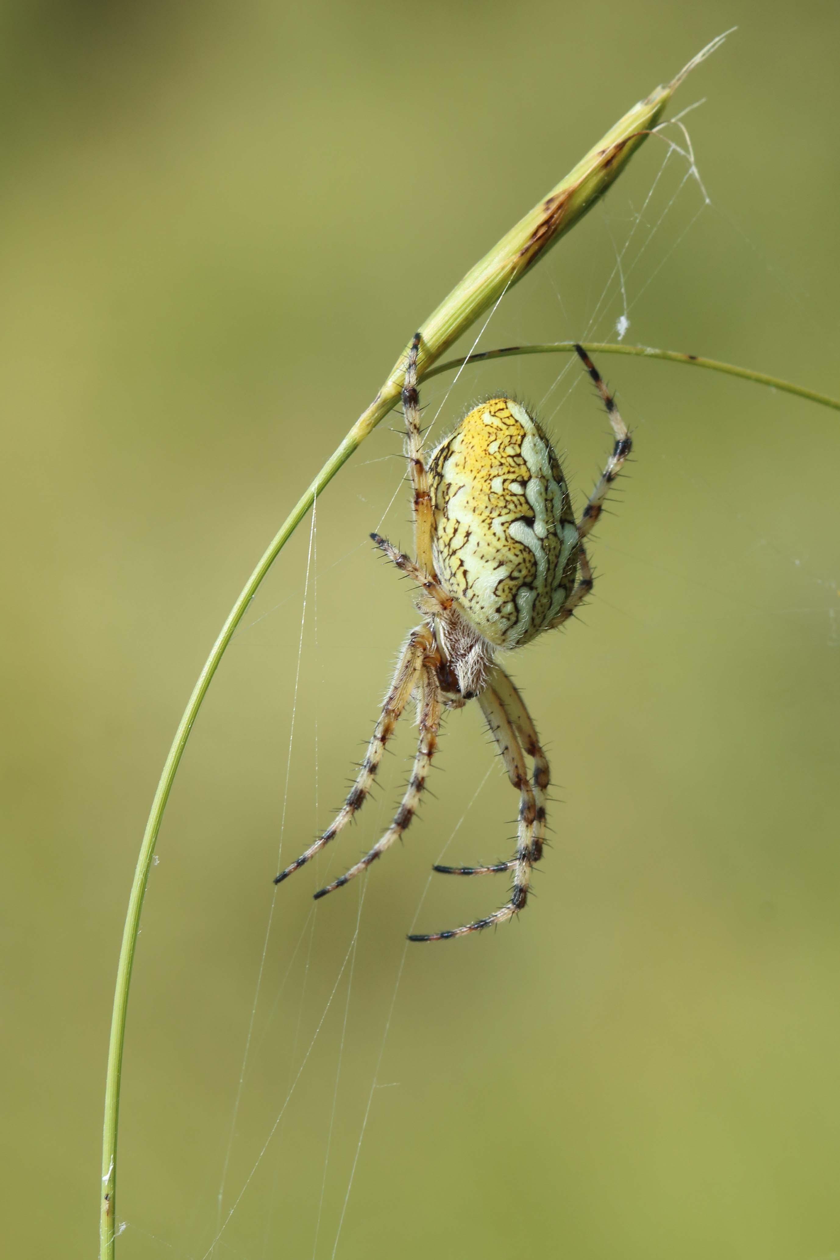 Aculepeira ceropegia - Campocecina (MS)