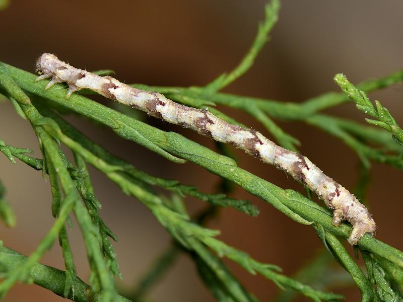 Larve di Eupithecia ultimaria sui tamerici, Peloponneso