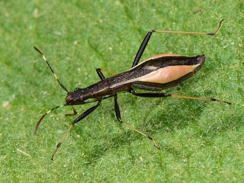 Alydidae: Micrelytra fossularum , femmina (e maschio)