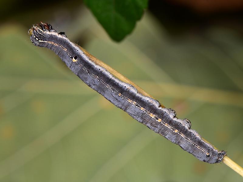 Ciclo di Grammodes stolida