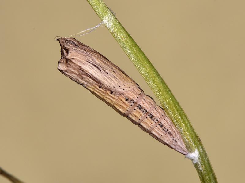 La pupa di Zerynthia cassandra