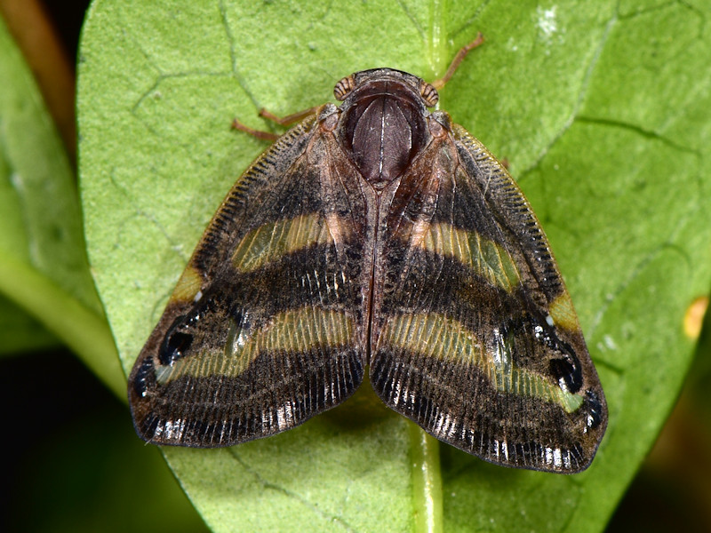 Un altro Ricaniidae in Europa: Ricania japonica