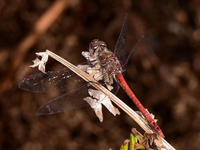 Sympetrum nigrifemur - La Gomera, Canarie