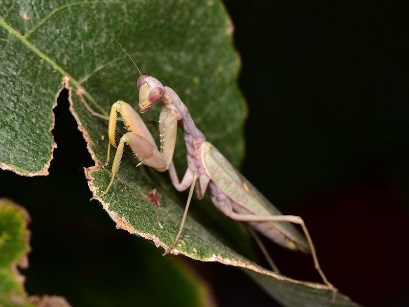 Guida al riconoscimento dei Mantidae italiani