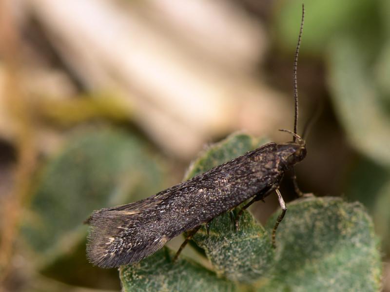 Aproaerema anthyllidella - Gelechiidae