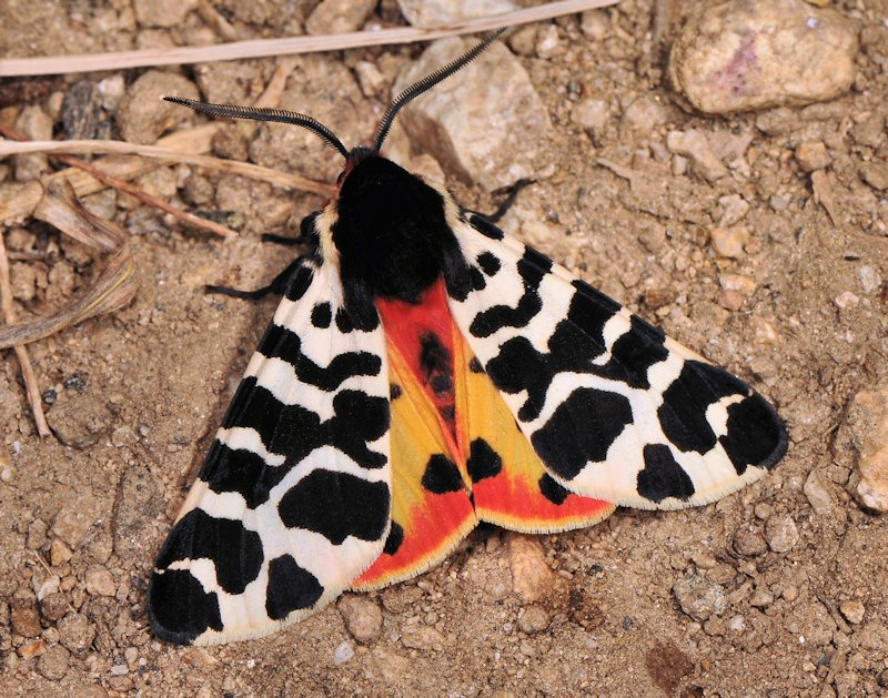 Ciclo di Atlantarctia tigrina, una delle più belle Arctiinae
