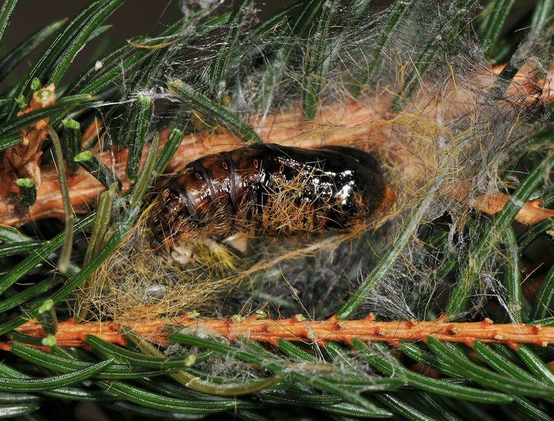 Una Lymantriina delle conifere: Calliteara abietis