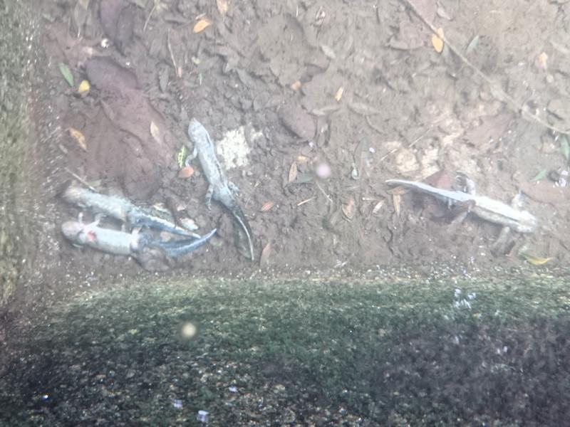 Strage di tritoni marmorati in Portogallo: attenzione, foto molto