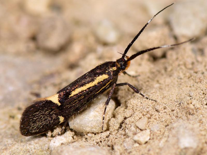 Esperia sulphurella - Oecophoridae