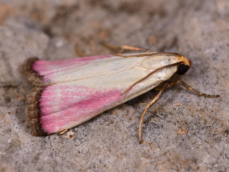 Microlepidotteri, SIC Monte Calvo e Monte Calvilli, Frosinone