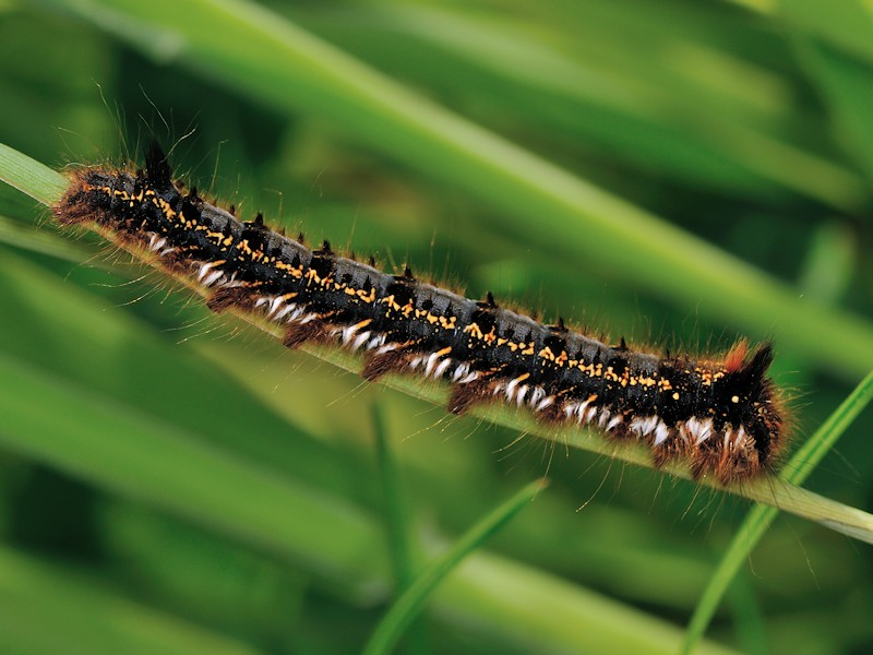 Larva, bozzolo e adulto di Euthrix potatoria italiana