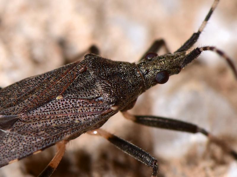 Stenocephalidae:  Dicranocephalus marginicollis - Serifos (Cicladi)