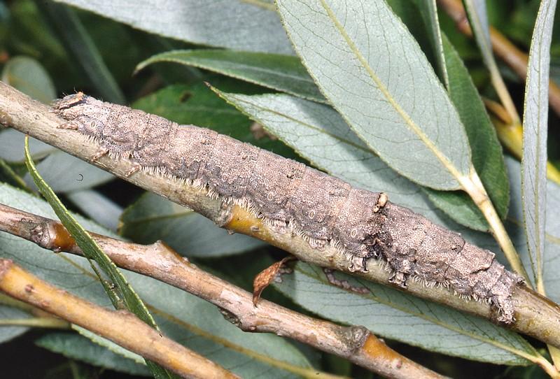 Le Catocala italiane: adulti e larve
