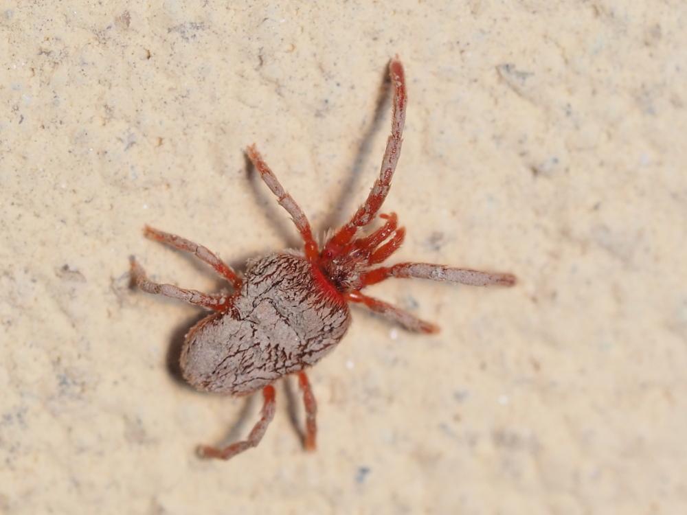 Trombidium sp.  (Trombidiidae)