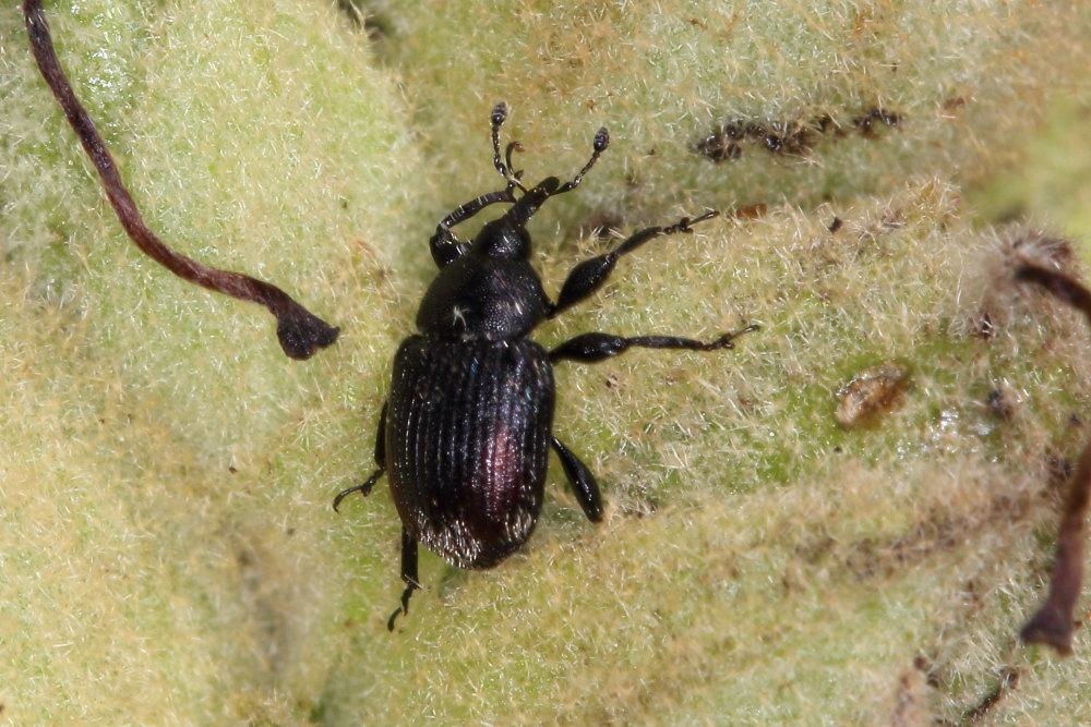 Curculionidae:  Rhinusa cfr. tetra