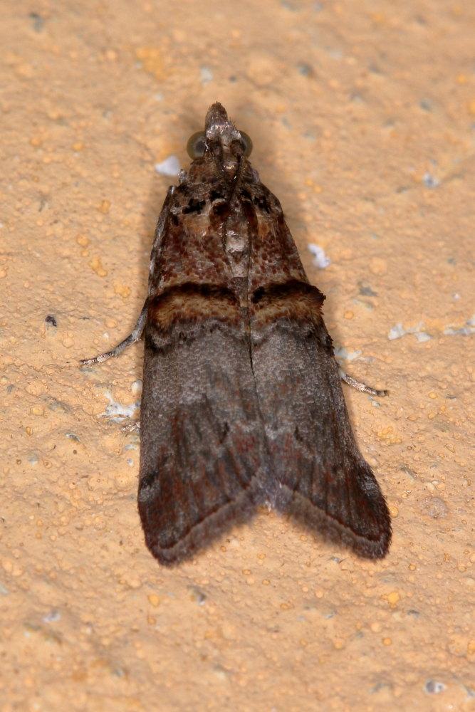 Pyralidae: Trachonitis cristella