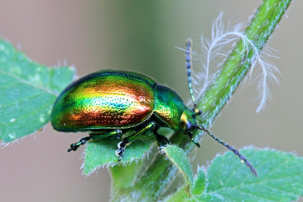 Chrysomelidae: Chrysolina graminis, femmina