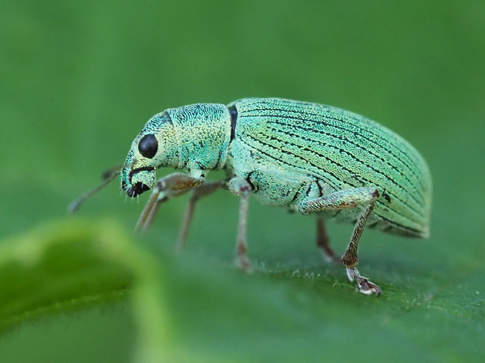 Curculionidae: Polydrusus formosus?  Sì !