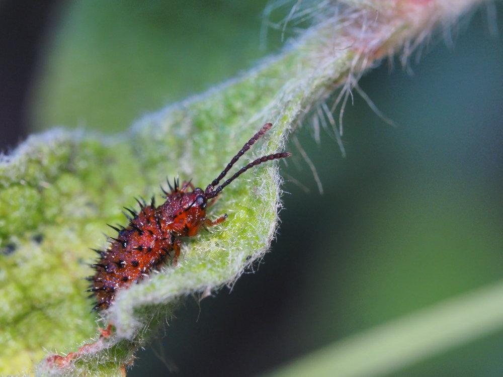 Chrysomelidae: Dicladispa testacea? Sì.