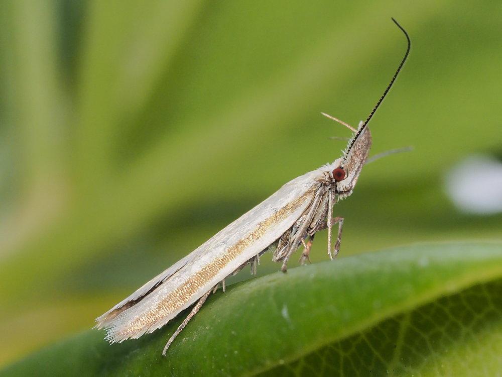 Microlepidottero da identificare: Pleurota pyropella - Oecophoridae