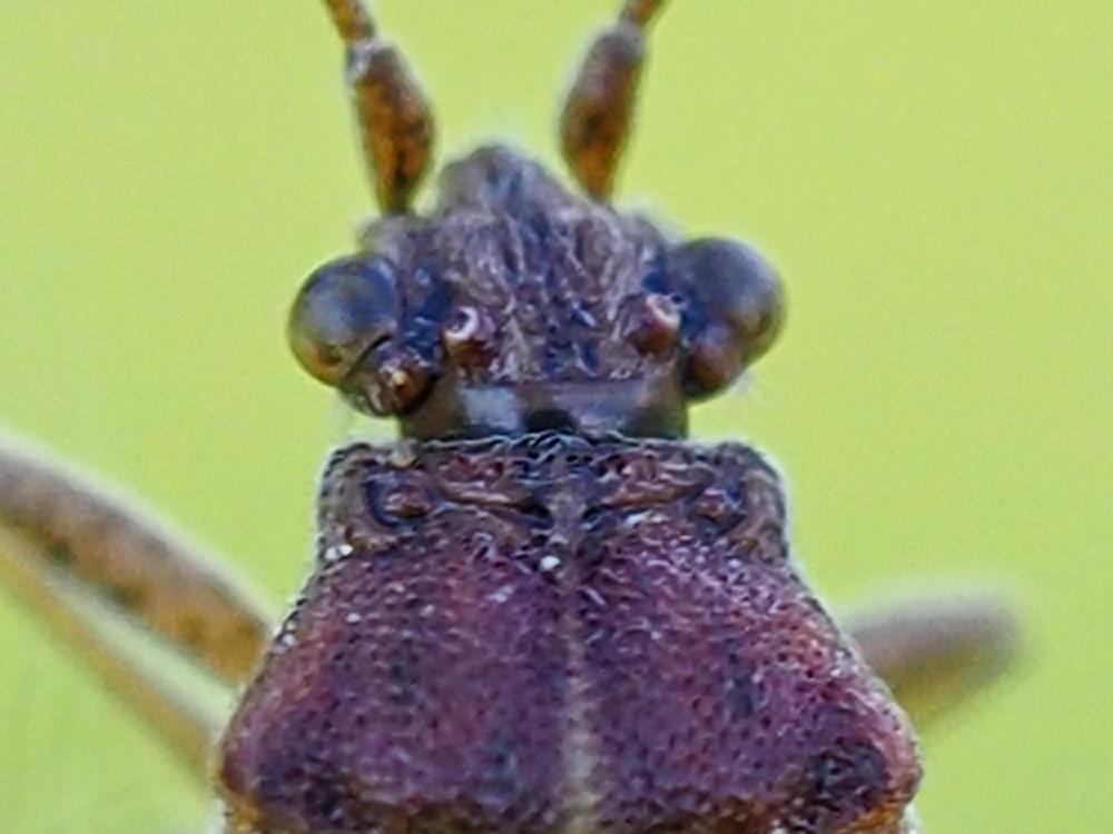 Rhopalidae: Rhopalus subrufus?  No, Stictopleurus sp.