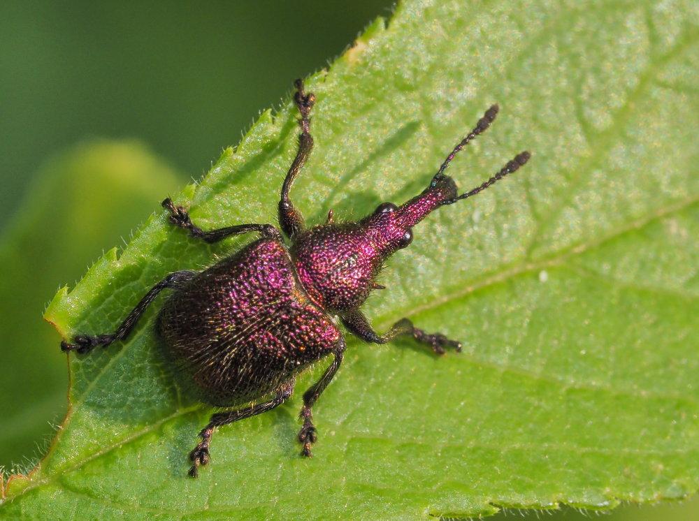 Rhinchitidae: Rhynchites auratus ?  Sì, maschio!